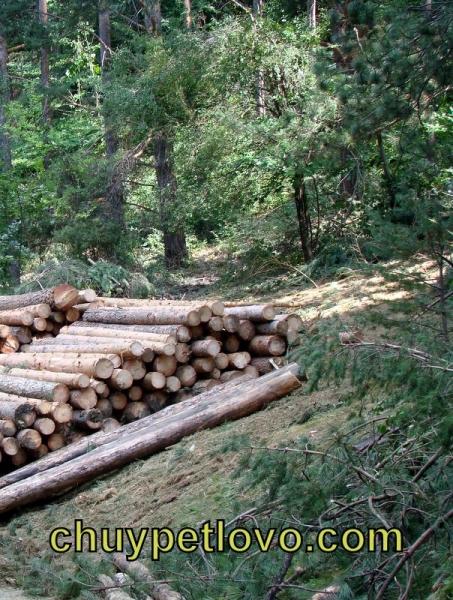 Изсичане на гората край Чуйпетлово
